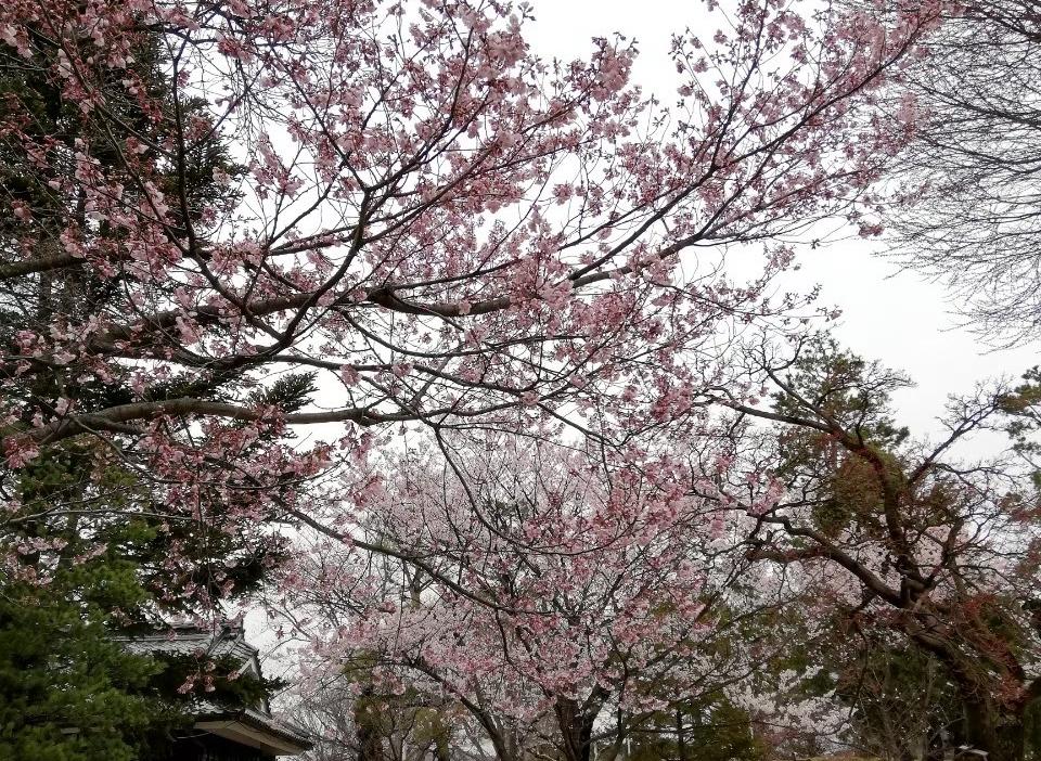 松本城 桜と空